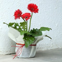 Potted Red Gerbera Plant