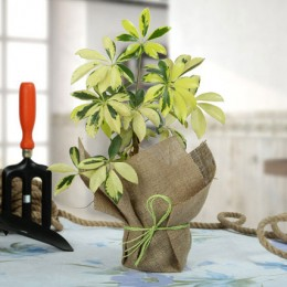 Eye Catching Schefflera Plant