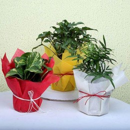 Evergreen House Plants