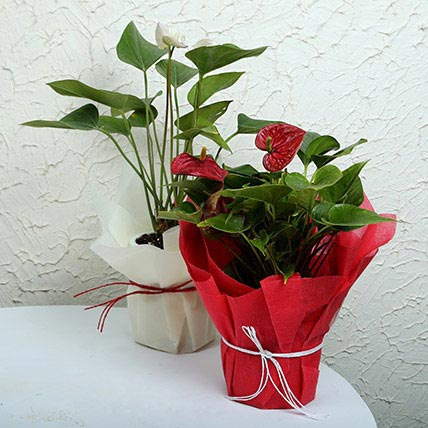 Red and White Anthurium Plants