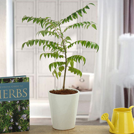 Spice Up Curry Leaf Plant