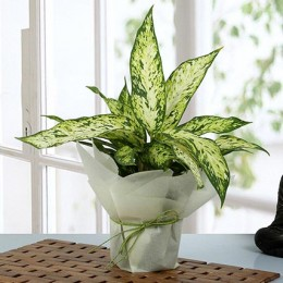 Green Aglaonema Plant