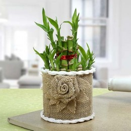 Lucky Bamboo Plant For Mom