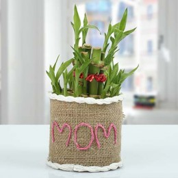 Lucky Bamboo Plant Express
