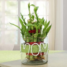 Lucky Bamboo Plant In Vase
