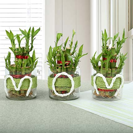 Evergreen Bamboo Plant for Mom