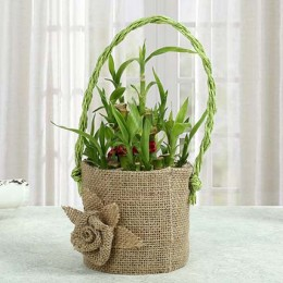 Bamboo Plant In Style