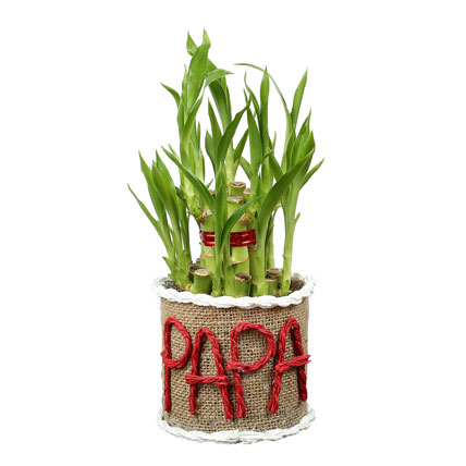 Lucky Bamboo Plant For Papa