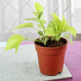 Fresh Money Plant