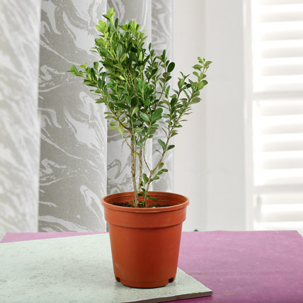 Ficus Weeping Fig Plant