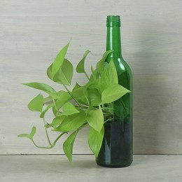 Money Plant In Vertical Green Bottle Pot