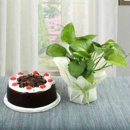 Black Forest Cake N Money Plant