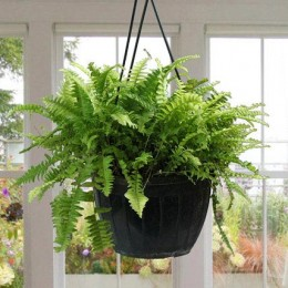 Stunning Boston Fern Plant