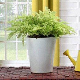 Boston Fern Potted Plant