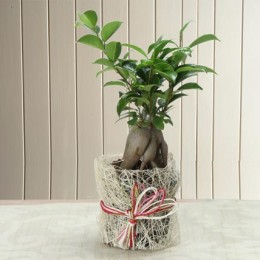 Potted Ficus Bonsai Plant