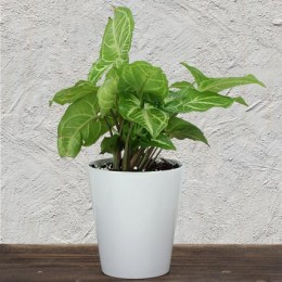 Evergreen Syngonium Plant