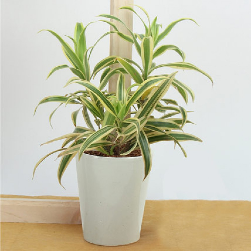 Song of india air purifying plant for Buy air purifying plants