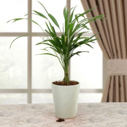 Refresh Areca Palm