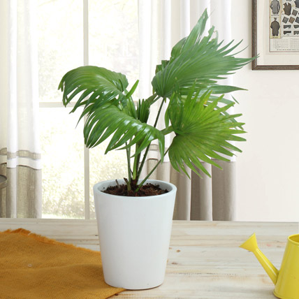 Potted China Palm Plant