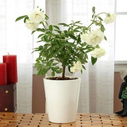 Potted White Rose Plant