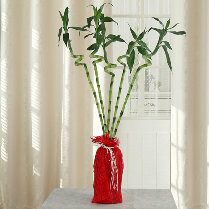 Spiral Lucky Ever Bamboo Plant