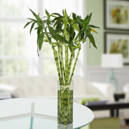 Eleven Spiral Bamboo Plant
