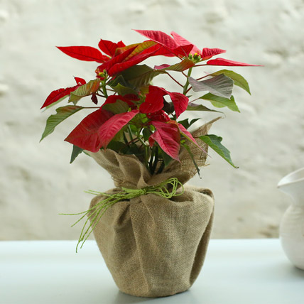 Potted Red Poinsettia Plant