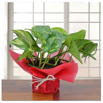 Lovely Money Plant