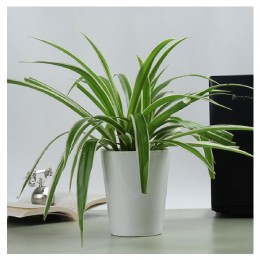Potted Spider Plant
