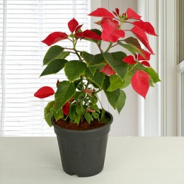 Red Poinsettia Plant Love