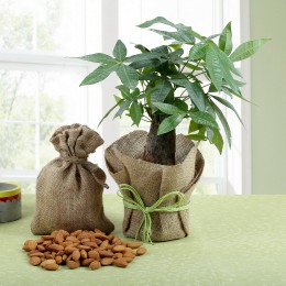 Dry Fruits N Pachira Bonsai