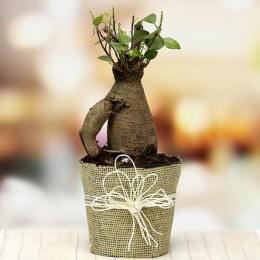 Mothers Day Ficus Bonsai