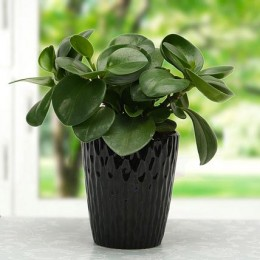 Mothers Day Peperomia plant