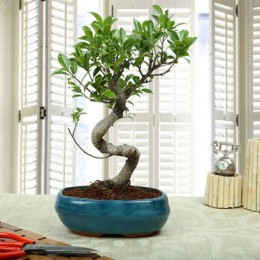 Amazing Bonsai Ficus S Shaped Plant