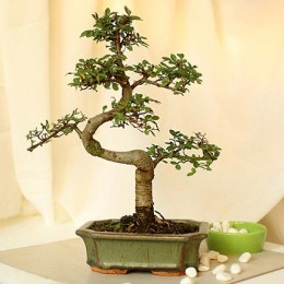 Thoughtful Elm S Shape Bonsai Plant