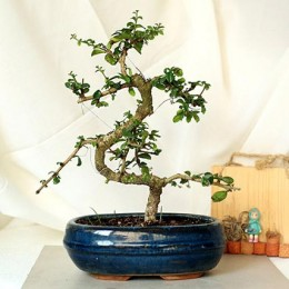 Intesifying carmona S Shape Bonsai Plant