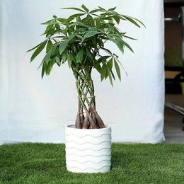 Sophisticated Basket Pachira Bonsai Plant