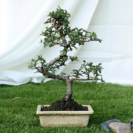 Fashionable Ulmus S Shape Bonsai Plant