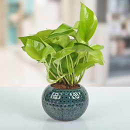 Ceramic Vase Money Plant