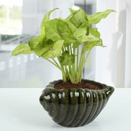 Dark green Shell Syngonium Plant
