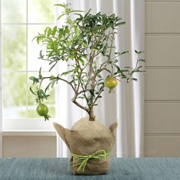 Lovely Bonsai Pomegranate Plant