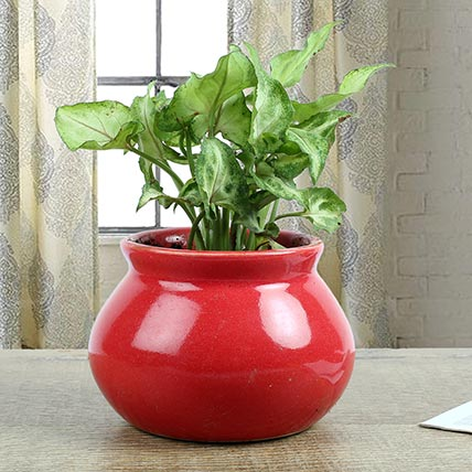 Syngonium Plant With Red Vase
