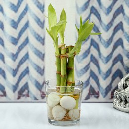 Find Luck With Bamboo plant