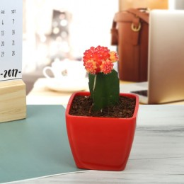 Bring Your Moon Cactus Plant