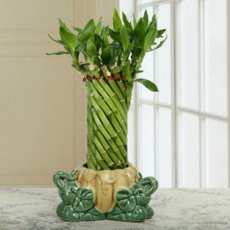Stylish Wheel Lucky Bamboo Plant