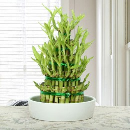 Elegant 5 Layer Lucky Bamboo Plant