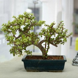 Fabulous Jade Bonsai Plant