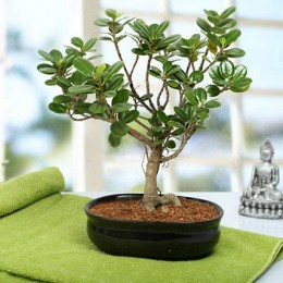 Lovely Ficus Iceland Bonsai Plant