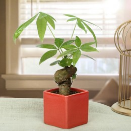 Exotic Pachira Single Knot Bonsai Plant