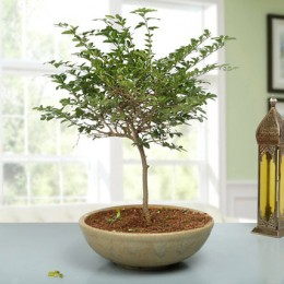 Traditional Elaichi Nimbu Bonsai Plant